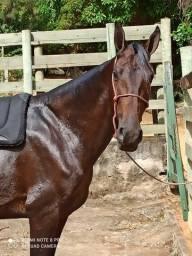 Vendo cavalo capulino