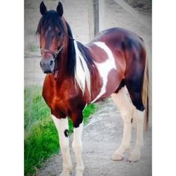 Vendo cavalo Manga larga Machado
