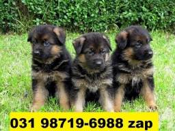 Canil Filhotes Cães Várias Raças BH Pastor Dálmata Boxer Labrador Akita Rottweiler Golden