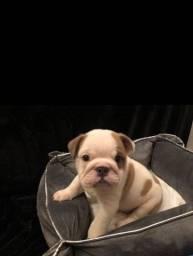 Bulldog Inglês filhotinhos com pedigree, garantias e parcelamento em até 12x