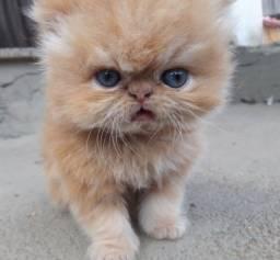 Vende-se filhote de gato persa (garfield)