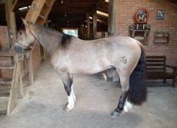 Cavalo Crioulo - Cavalo baio cabus negro
