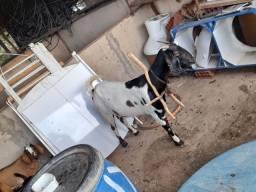 Vende-se 6 cabras interessados chama no zap *