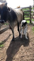 Vaca Jersy parida