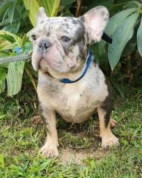 Bulldog francês Blue tan merle