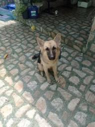 Cachorra (pastor alemão)