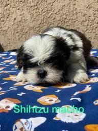 Shih Tzu Machinho