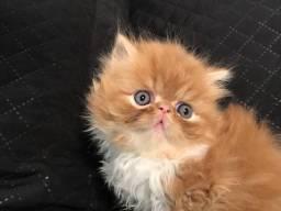 Gatos Persa Machos - Pais com pedigree