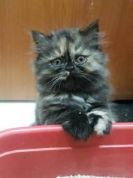Filhote de gato persa tricolor