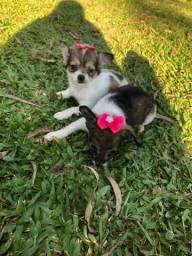 Lindinhas Chihuahuas Pelô Longo