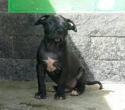 Filhote de pitbull com 58 dias