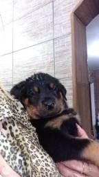 Vendo lindos filhotes de Rottweiler