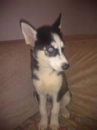 cachorro Husky siberianos