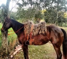 Égua quarto de milha