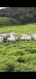 Vacas 100% cheias através de IATF , em fase final de gestação