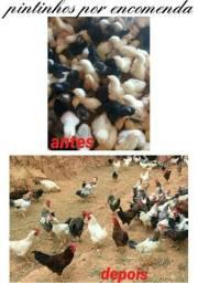 Vendo pintinhos de galinhas caipiras e codornas