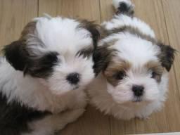 Lhasa apso bebes lindos pais de pedigree garantia de saude