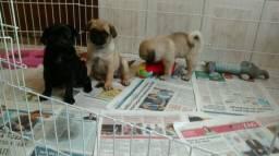 Filhotes de Pug com vacina importada garantia de saúde