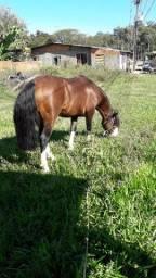 vendo cavalo Cirilo