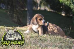 Filhotes de Beagle