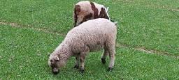 Cordeiros e ovelhas