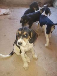 Filhotes de cachorros beagle