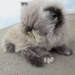 Vende-se filhote de gato Persa Himalaio Blue Point
