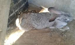 Vendo coelha