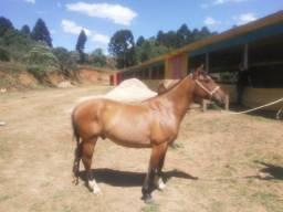 Cavalos crioulo gateados já manso de laço