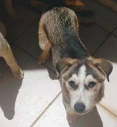 Husky Siberiano 3 meses