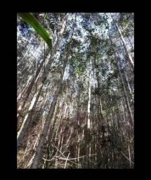 Área com 14 mil pés de eucaliptos