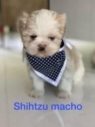 Shih tzu temos várias cores disponível