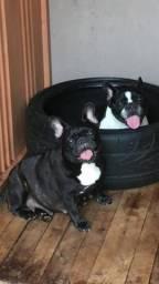 Bulldog francês fêmea adulta