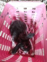 Mini coelhos Lop