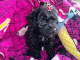 Linda fêmea micro toy poodle