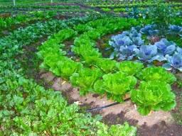 Horta orgânica - alfaces, cebolinhas, coentros, salsinhas, couves, repolhos, etc