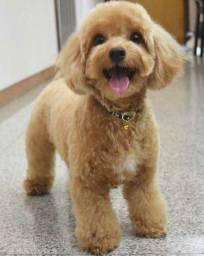 Interessados em comprar uma cachorra recém nascida da raça poodle