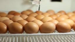 Chocadeira capacidade para 80 ovos de galinha