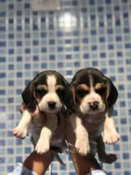 Beagle tricolor a pronta entrega - todas as garantias