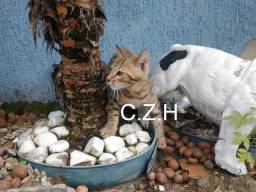 Gato bengal Macho, pedigree com Recibo