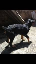 Rottweiler  cabeça de touro 5 meses
