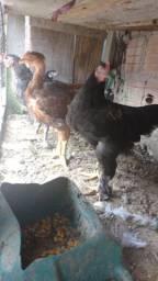 Lindos frangos caipiras Brahma e índio gigantes