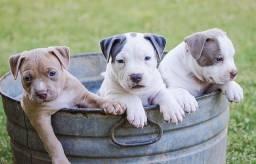 Filhotes dos melhores Pitbulls com garantia!