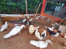 Patos Raças misturadas caipira