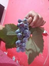 Mudas de uvas com e sem semente