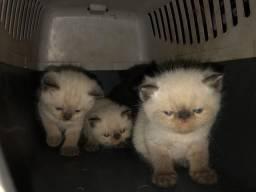 Gatos Persas Filhotes