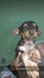 Cachorro macho (foto da mãe)
