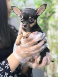 Chihuahua o menor cão do mundo