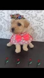 Mini poodle femea