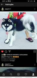 Husky Branco !!